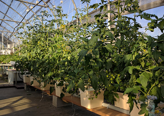 A row of tall tomato plants grows in a greenhouse.