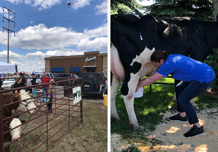 Cows in a pen at a Culver's restaurant and a woman milking a cow